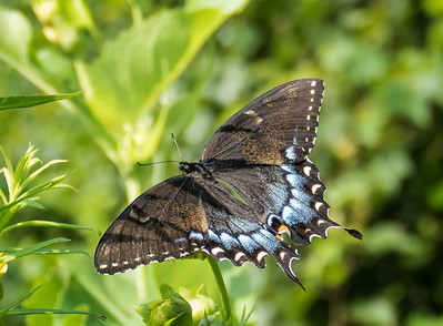 Eastern Tiger Swallowtail (black form female)