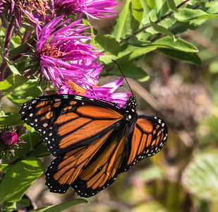 Monarch (male)