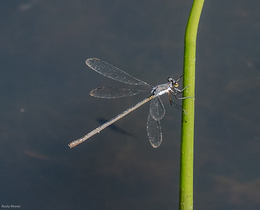 Swamp Spreadwing Damselfly (probable, female)