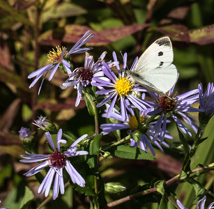 Cabbage White (female)