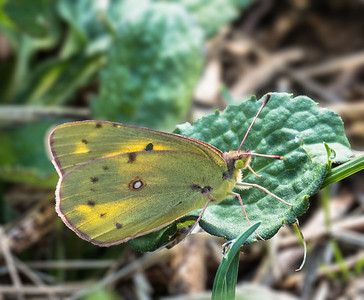 Orange Sulphur (female)