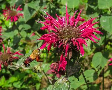 Hummimgbird Clearwing Moth