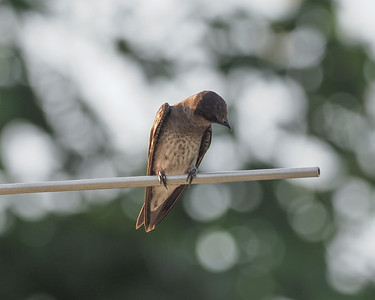 Purple Martin juvenile