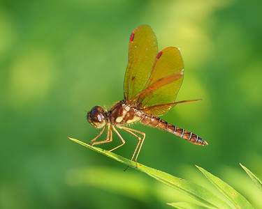 Eastern Amberwing, male