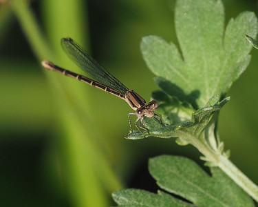 Variable Dancer, female