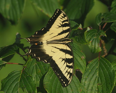 Tiger Swallowtail, male