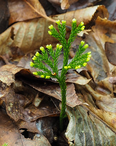 Princess pine - Lycopodium obscurum