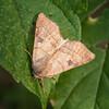 Bent-line Dart Moth (Choephora fungorum)