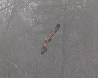 Bald Eagle, Juvenile