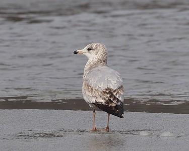 Ring-Billed Gull, first winter