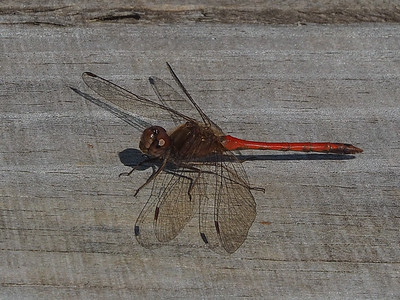 Autumn Meadowhawk, male