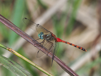 Blue-faced Meadowhawk, male
