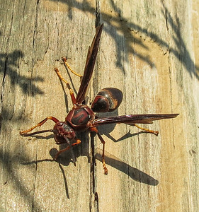 Brown Paper Wasp (Polistes fuscatus)