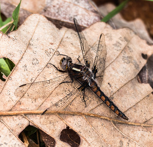 Blue Corporal Dragonfly (immature female), Meadowood Recreation Area, Mason Neck, VA