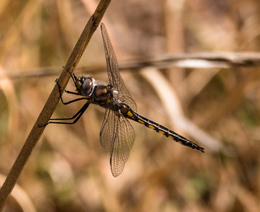 Common Baskettail Dragonfly (male), Meadowood Recreation Area, Mason Neck, VA