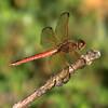 Needham's Skimmer Dragonfly (male)