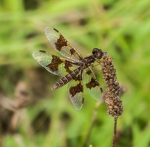 Eastern Amberwing (female), Meadowood Recreaton Area, Mason Neck, VA