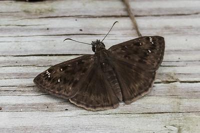 Horace's Duskywing (male), Meadowood Recreaton Area, Mason Neck, VA