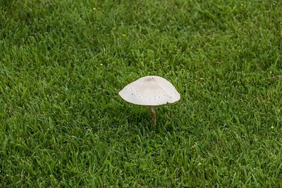 Green-spored Lepiota (Chlorophyllum molybdites), Meadowood Recreaton Area, Mason Neck, VA