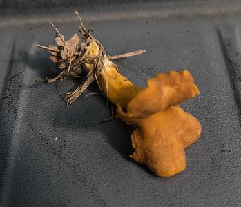 Flame-colored Chanterelle (Craterellus ignicolor), Meadowood Recreaton Area, Mason Neck, VA