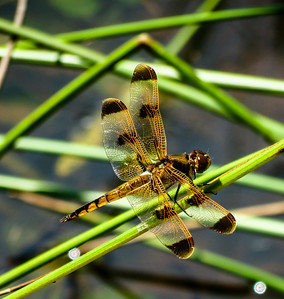 Painted Skimmer Dragonfly (male)
