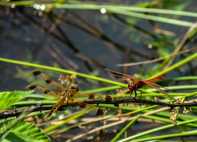 Painted (left) & Needham's Skimmer Dragonflies (males)