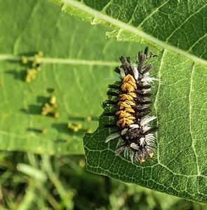 Milkweed Tussock Moth Caterpillar