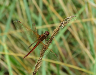 Needhams Skimmer (male)-2