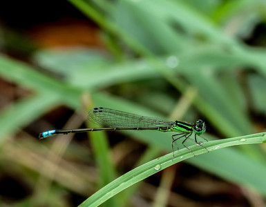 Eastern Forktail (male) 1a-2
