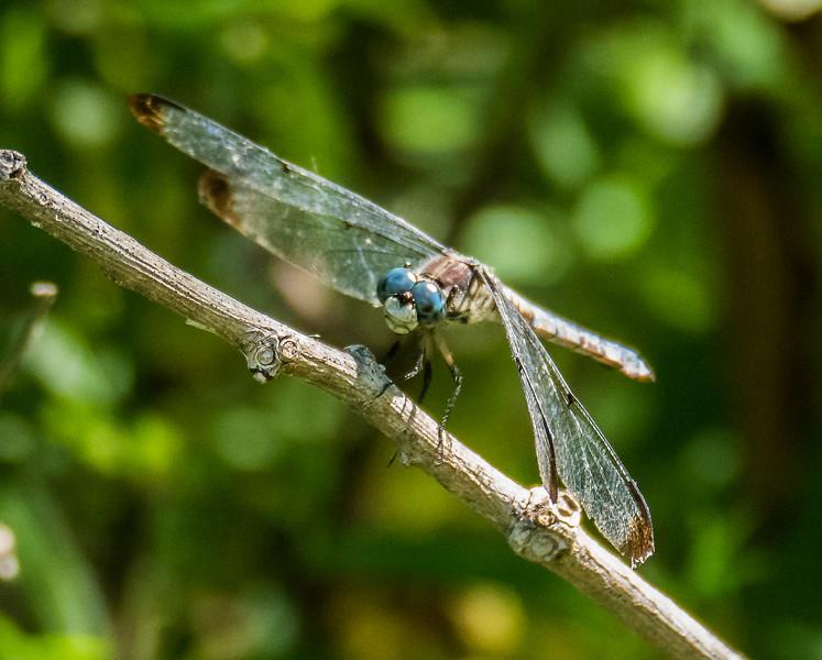 Great Blue Skimmer Dragonfly (male, worn)