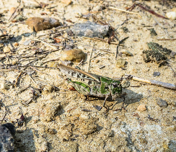 Orange-winged Grasshopper