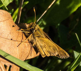 Sachem Skipper (female), Meadowood Recreation Area, Mason Neck, VA
