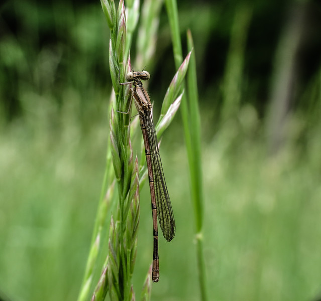 Variable Dancer Damselfly (immature male)