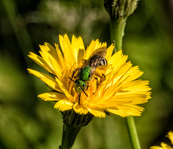Agapostemnon virescens (Sweat Bee sp.)