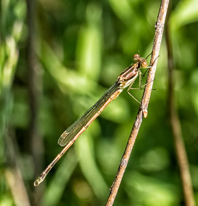 Big Bluet (teneral)