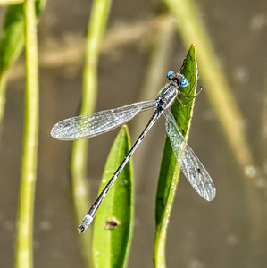 Sweetflag or Southern Spreadwing