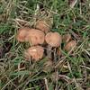 Ringless Honey Mushrooms (Armillariella tabescens)