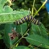 Monarach Caterpillar & Orb Weaver Spider