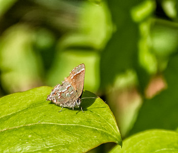 """Olive"" Juniper Hairstreak"