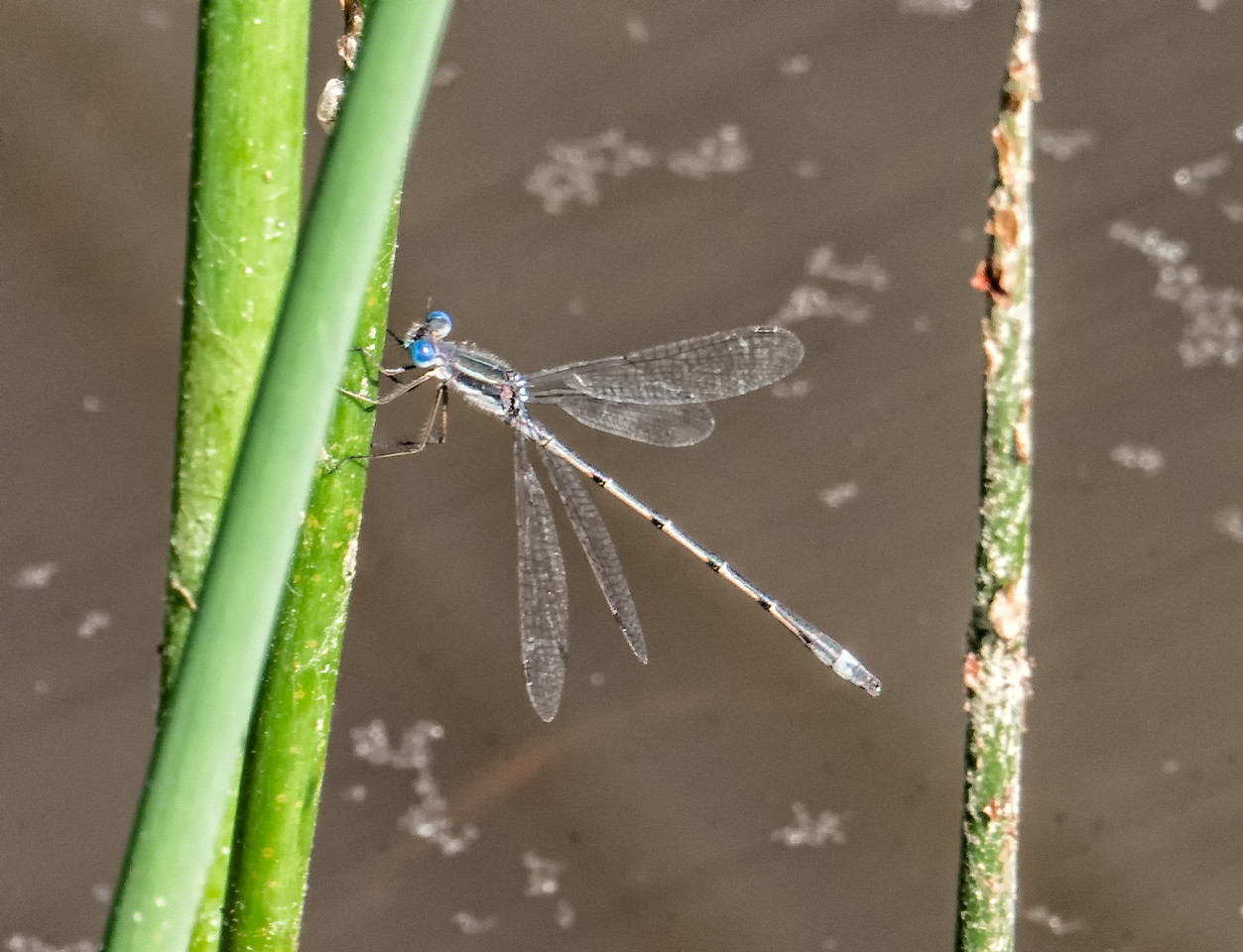 Southern or Sweetflag Spreadwing