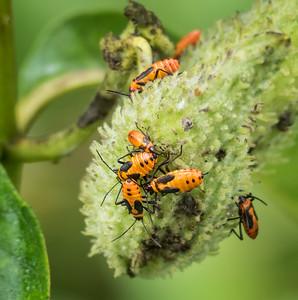 Large Milkweed Bug (nymphs)