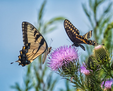 Eastern Tiger Swallowtail (left) and Black Swallowtail