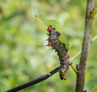 Red-humped Caterpillar (Schizura concinna)