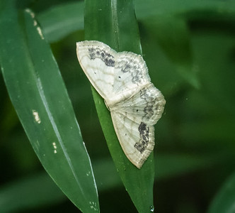 Large Lace-border Moth (Scopula limboundata)
