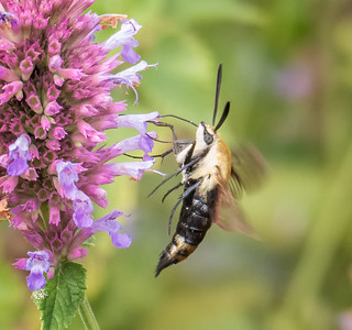 Snowberry Clearwing Moth (view 3 of 3)