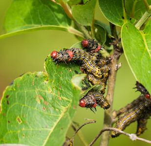 Red-humped Caterpillars (Schizura concinna)