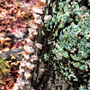 Turkey-tail Mushrooms (Trametes versicolor)
