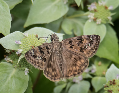 Horace's Duskywing (female) (no. 2)