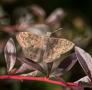 Horace's Duskywing (female) (no. 1)