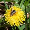 Tachnid Fly (Gonia sp.?)